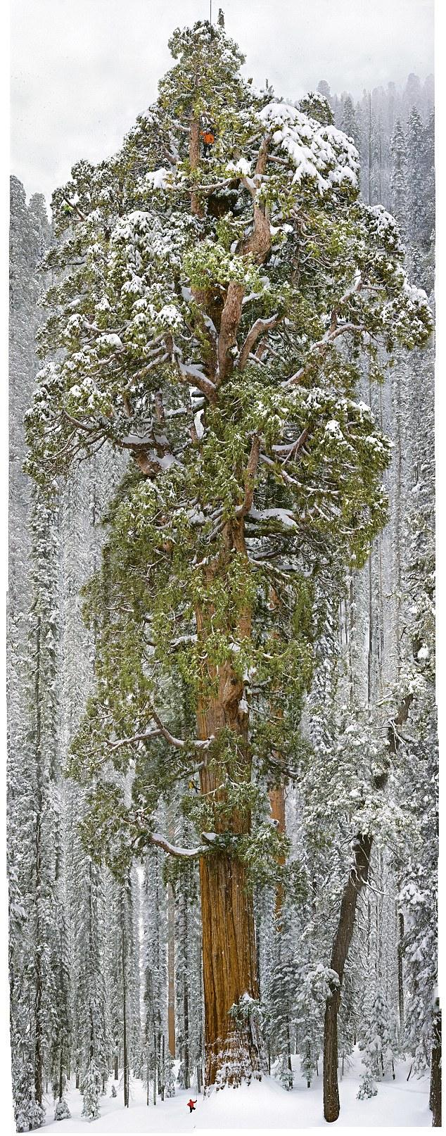 A 3200 éves Elnök Fa ( The President Tree)